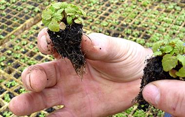 Mudas e sementes de árvores e plantas medicinais