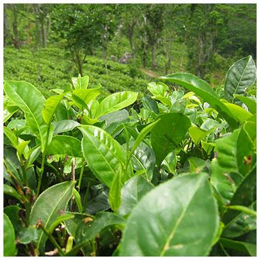 cha-preto-camellia-sinensis