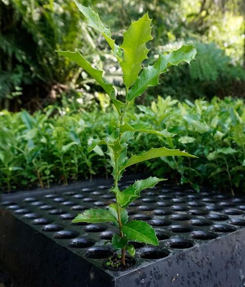Mudas de Espinheira Santa (maytenus ilicifolia)